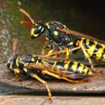 アシナガバチの巣は絶対駆除? スズメバチとはこんなに違う!?