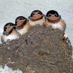 ツバメも野鳥! 巣の「撤去」と「保護」は法律違反と隣あわせ!?