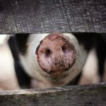 豚熱で清浄国から除外!? ただ、豚熱よりも恐い感染症が・・・