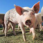 「豚熱(豚コレラ)」が26年振りに発生!? 豚にとっては「死の病」